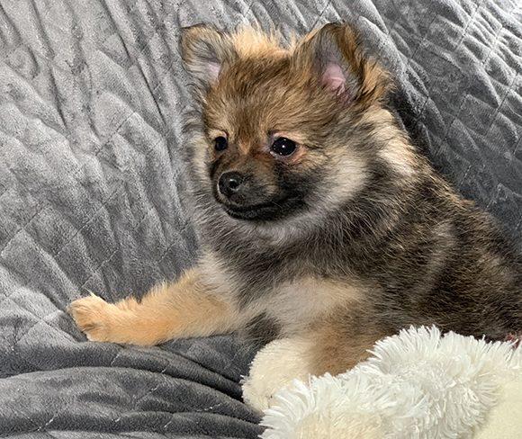 Espresso – Baby Girl Pomeranian