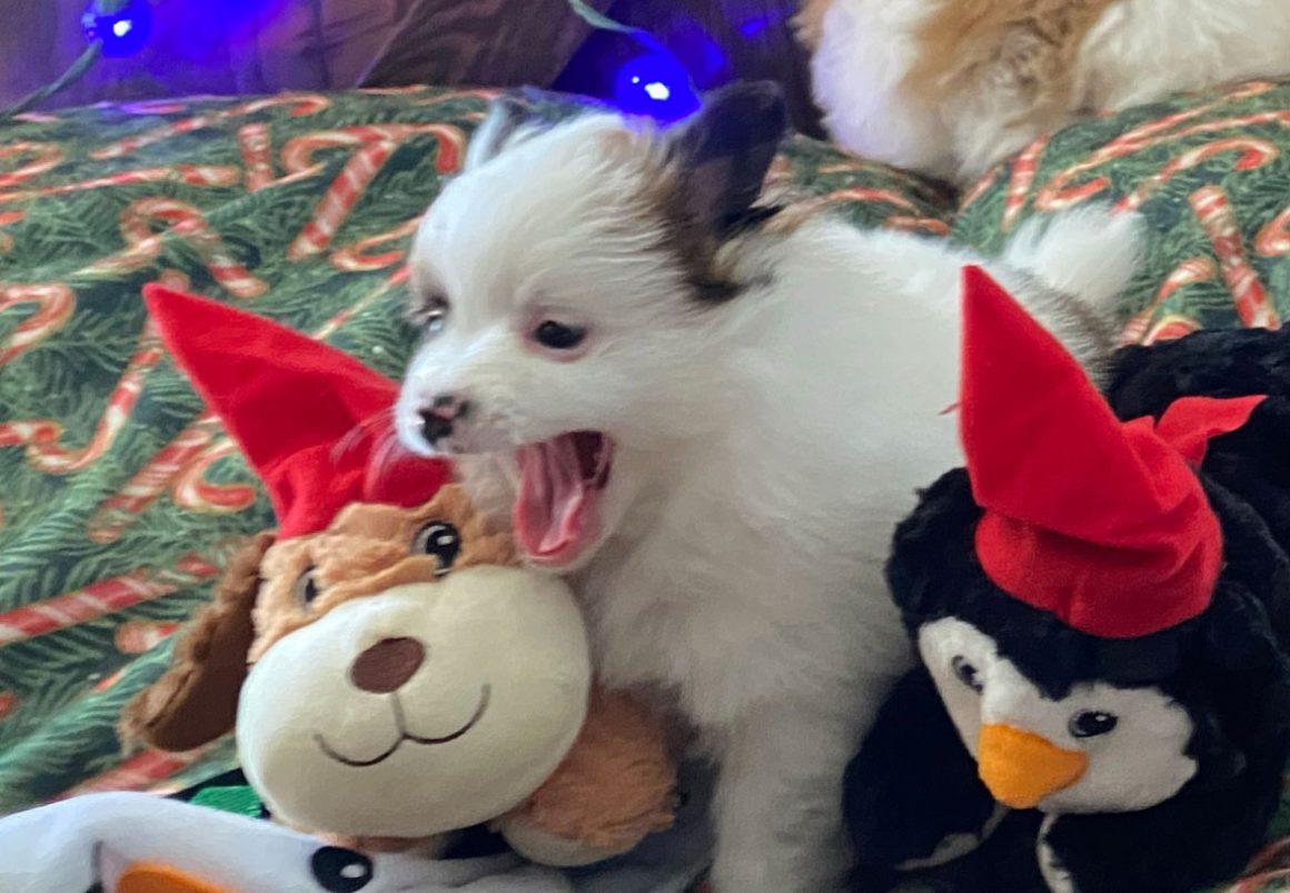 Angel – Baby Boy Pomeranian
