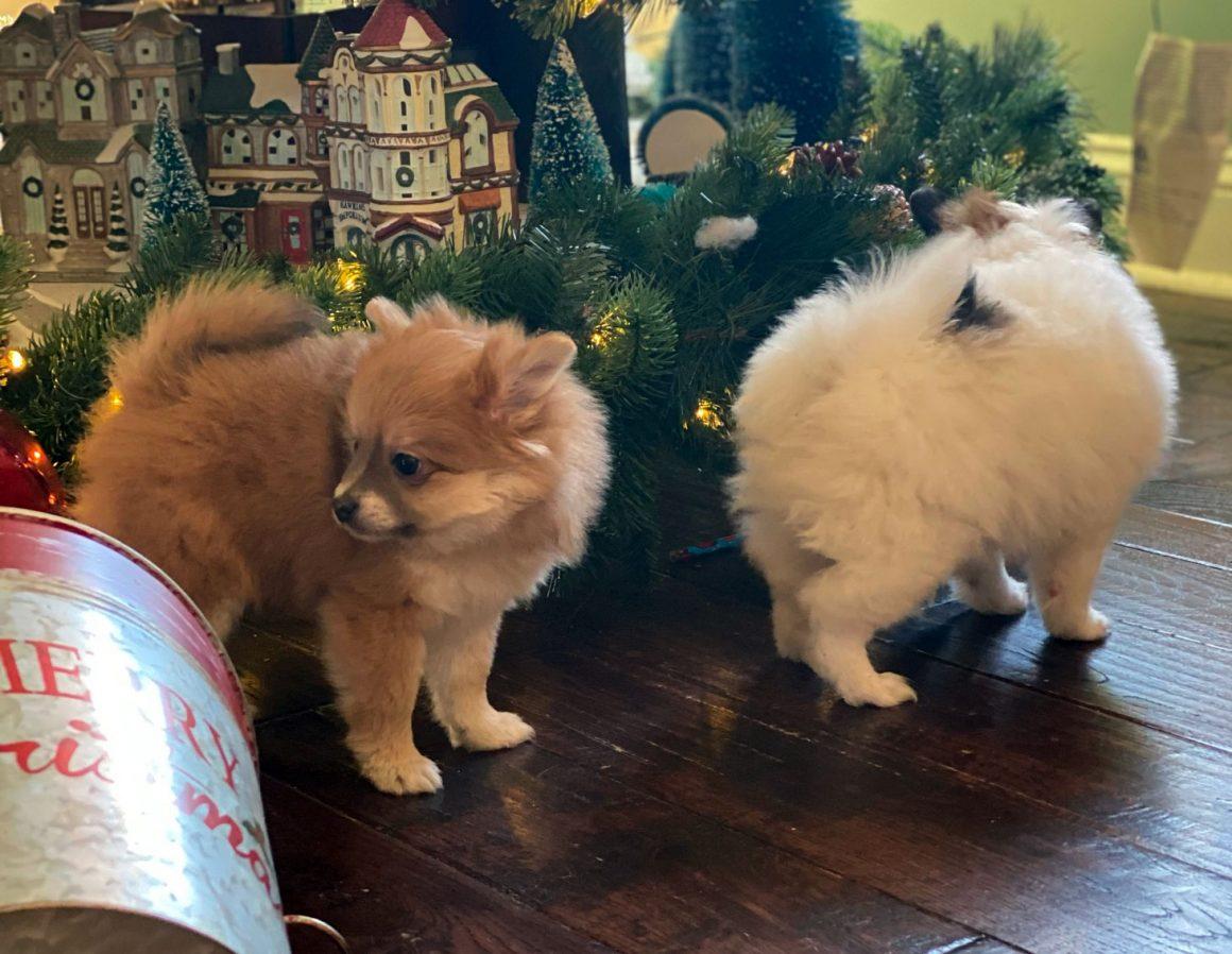 Gingerbread – Baby Boy Pomeranian