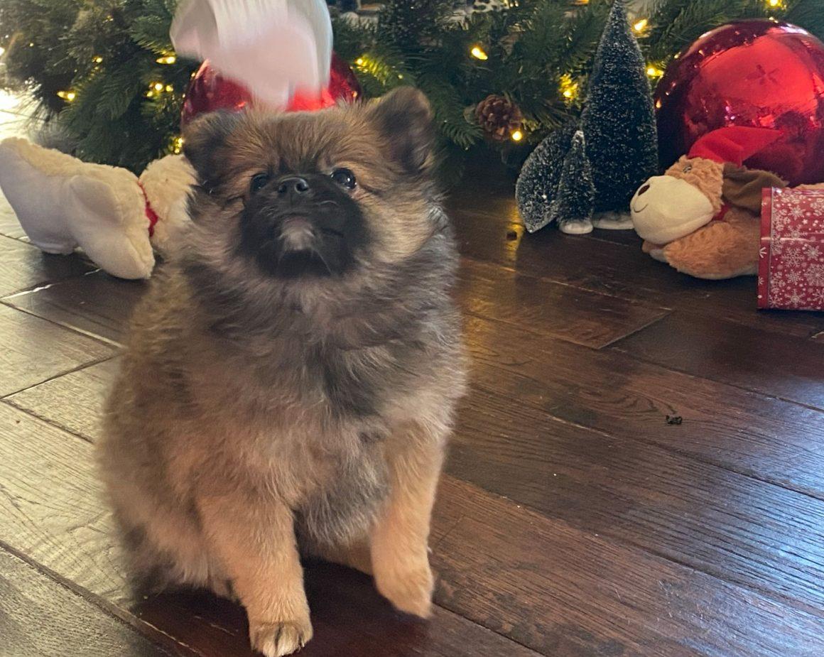 Hot Cocoa – Baby Boy Pomeranian