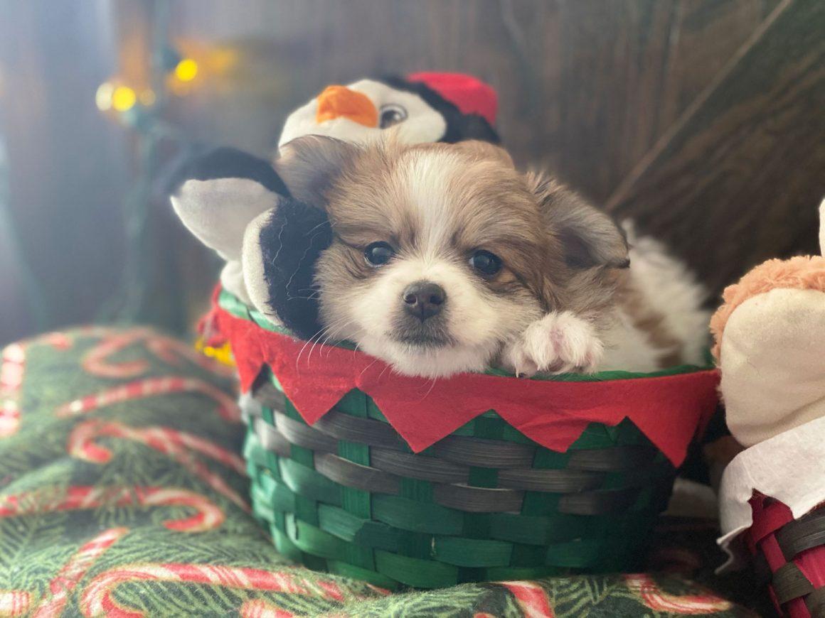 Divinity – Baby Girl Pomeranian