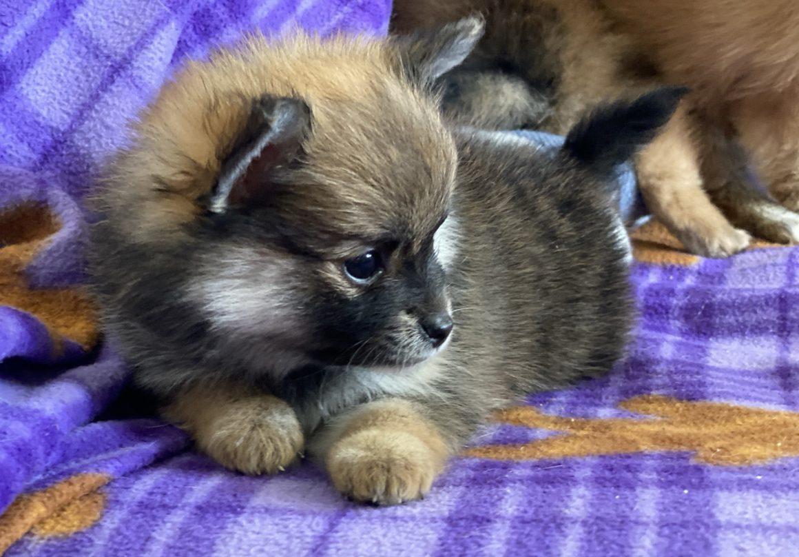 Bubbles – Baby Girl Pomeranian