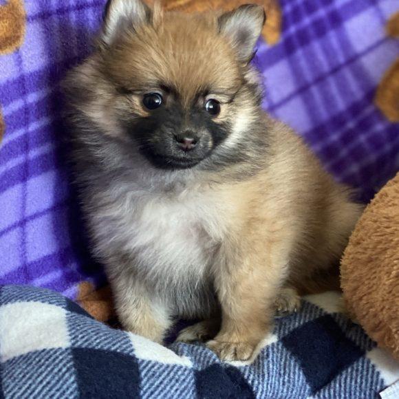 Cuddles – Baby Boy Pomeranian