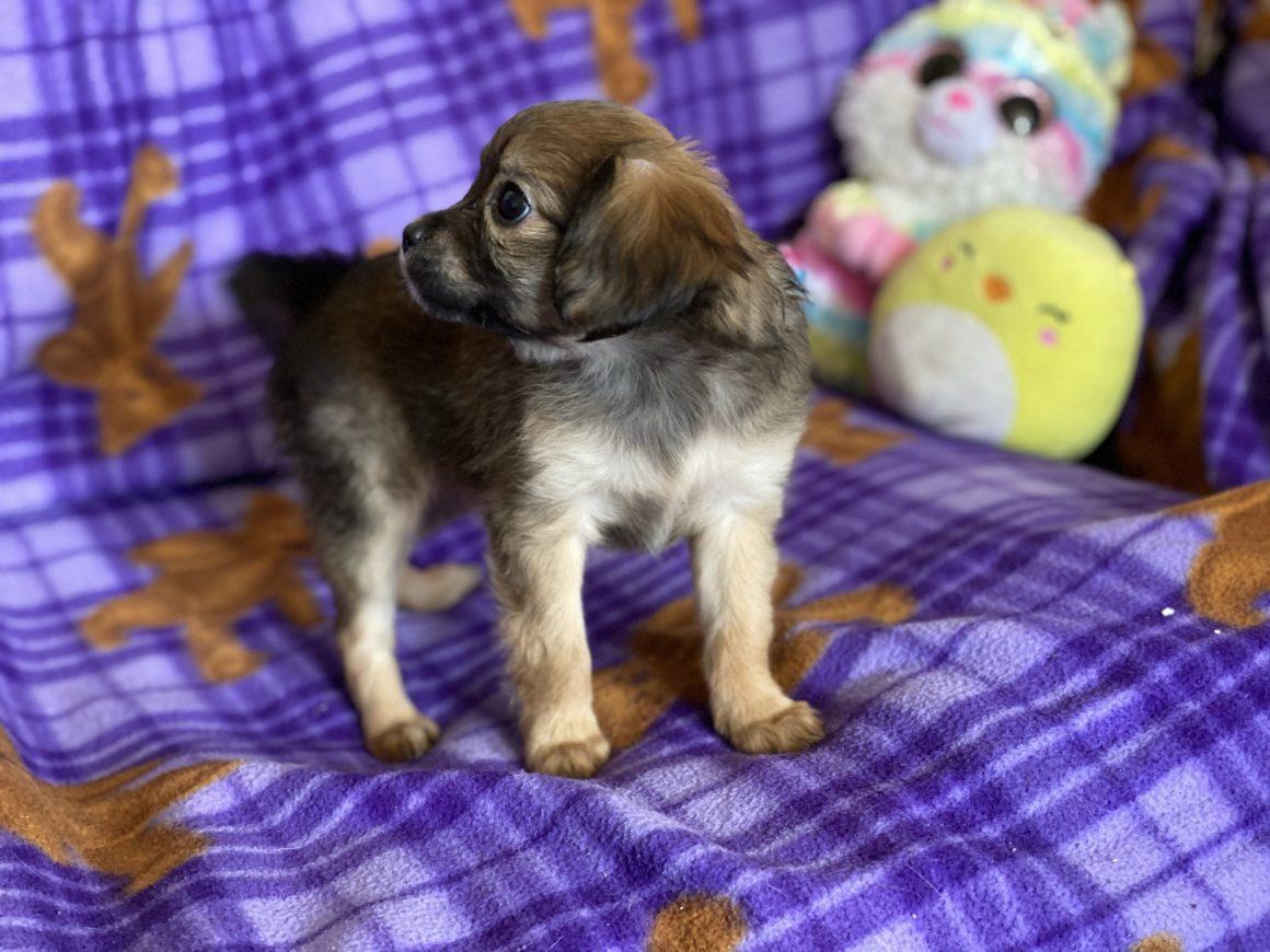 Louie – Baby Boy Cavapom