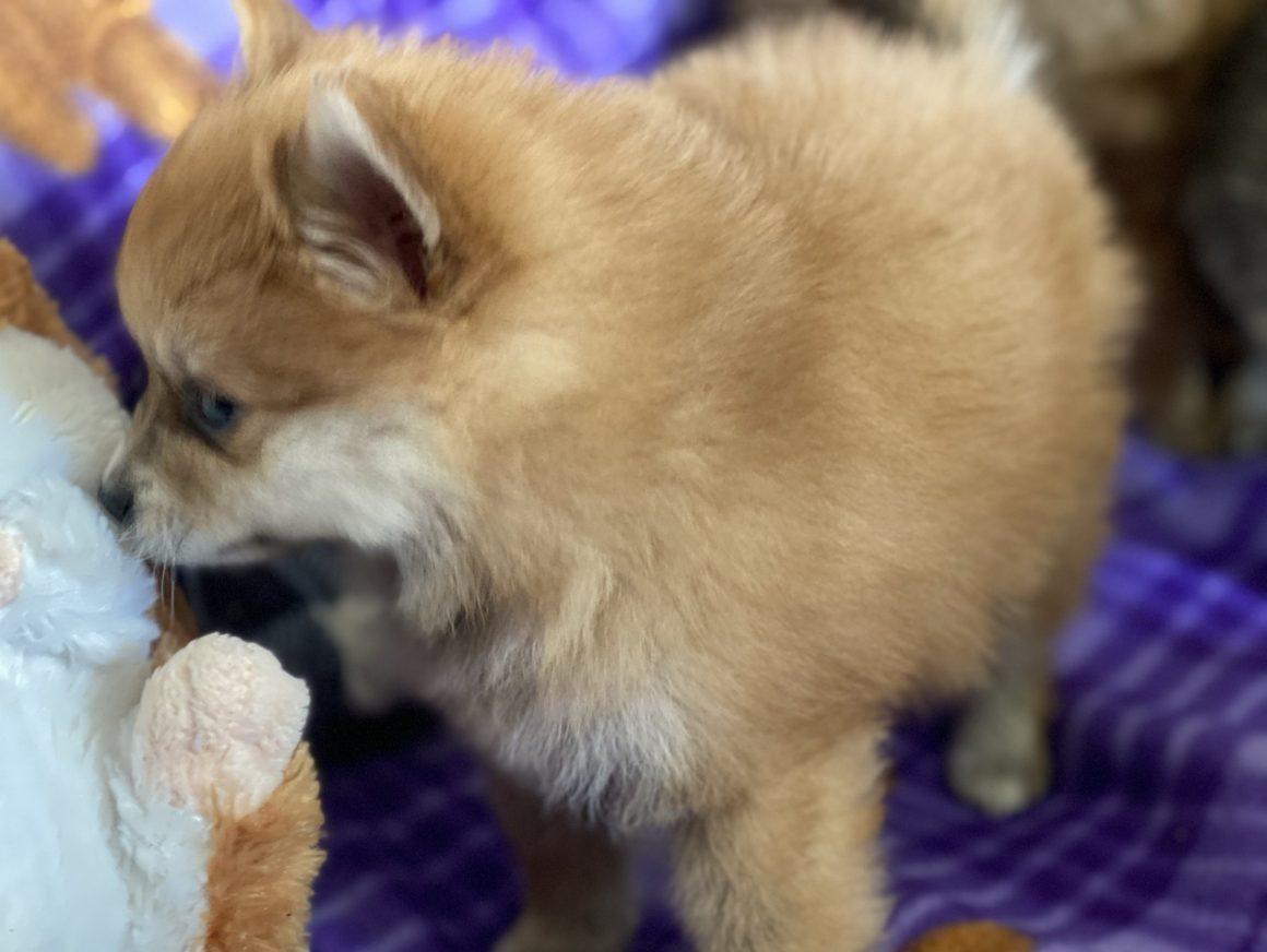 Snuggles – Baby Boy Pomeranian